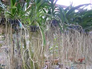 Привезите из Таиланда в подарок орхидеи