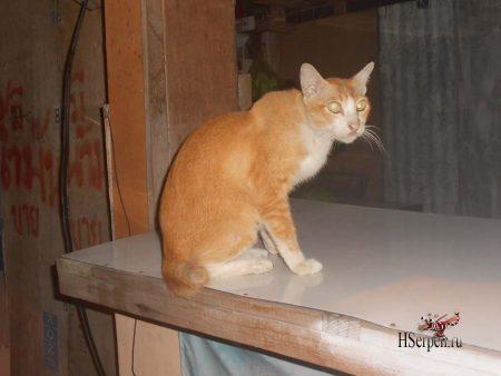 Тайцы и их кошки: почему кошка гуляет без хвоста?