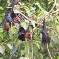 Летучие лисицы в Таиланде