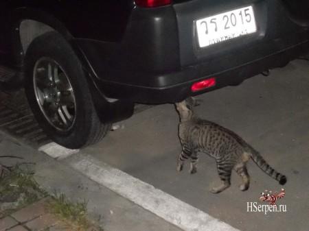 Про сиамских кошек