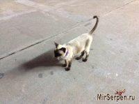 Сиамский котик на острове Пхукет