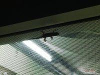 Наши маленькие тайские соседи гекконы